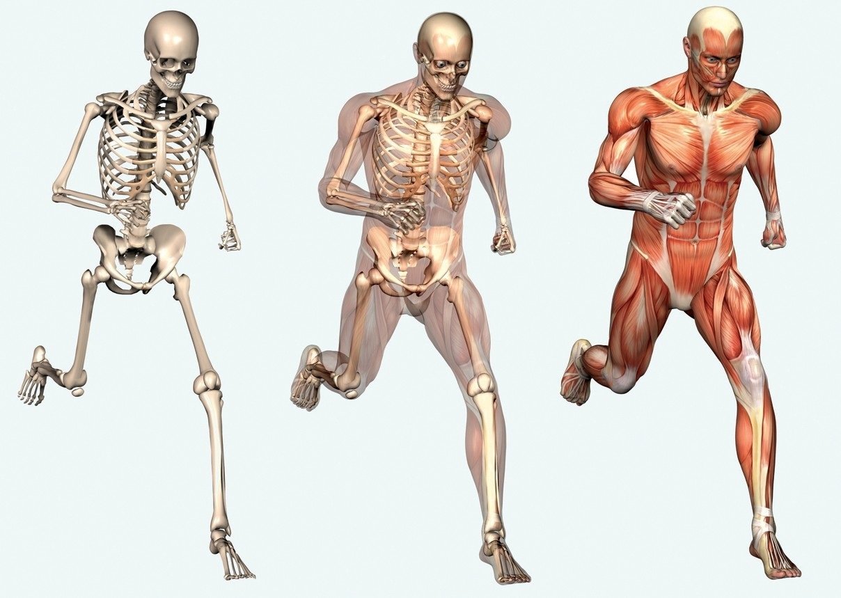 340 On Main Skeleton Picture Of Human Body Muscles Skeleton 1829596093
